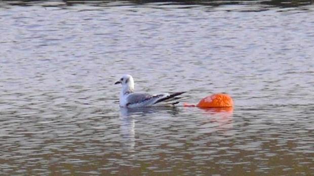 Bong bay - nguy co lon nhat de doa su song cua loai chim bien hinh anh 1