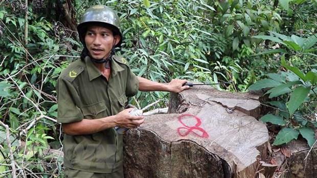 Rung dau nguon Tra Kot o Quang Nam bi tan pha nghiem trong hinh anh 2