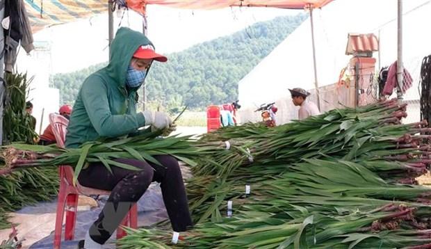 Thao go kho khan cho nguoi trong hoa layon dip Tet o Lam Dong hinh anh 1