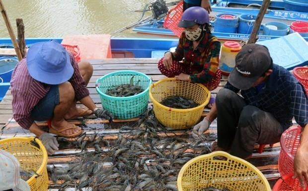 Ca Mau giu on dinh dien tich 280.000ha nuoi tom, nang cao chat luong hinh anh 1