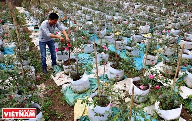 Nguoi dan Hung Yen lam giau tu nhung vuon hoa hong co hinh anh 1