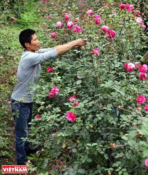 Nguoi dan Hung Yen lam giau tu nhung vuon hoa hong co hinh anh 3