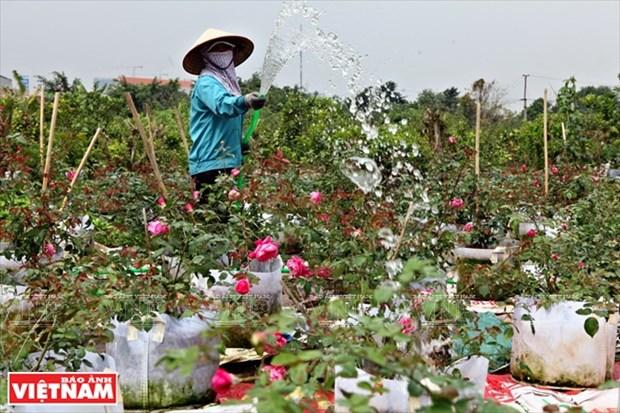 Nguoi dan Hung Yen lam giau tu nhung vuon hoa hong co hinh anh 2