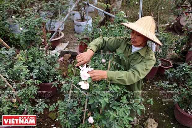 Nguoi dan Hung Yen lam giau tu nhung vuon hoa hong co hinh anh 4