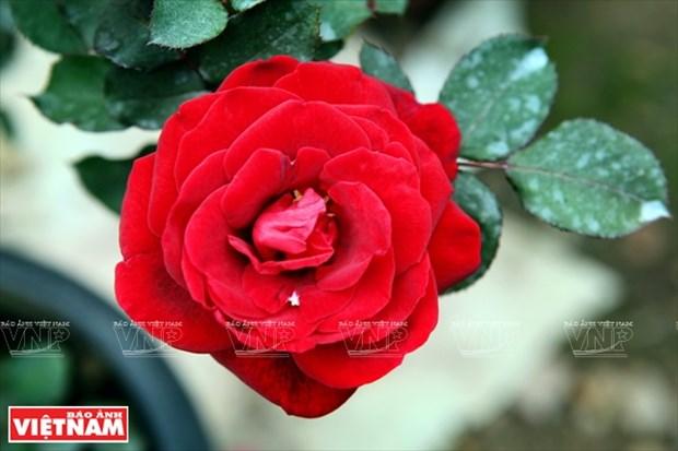 Nguoi dan Hung Yen lam giau tu nhung vuon hoa hong co hinh anh 8