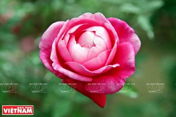 Nguoi dan Hung Yen lam giau tu nhung vuon hoa hong co hinh anh 9