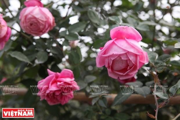 Nguoi dan Hung Yen lam giau tu nhung vuon hoa hong co hinh anh 11