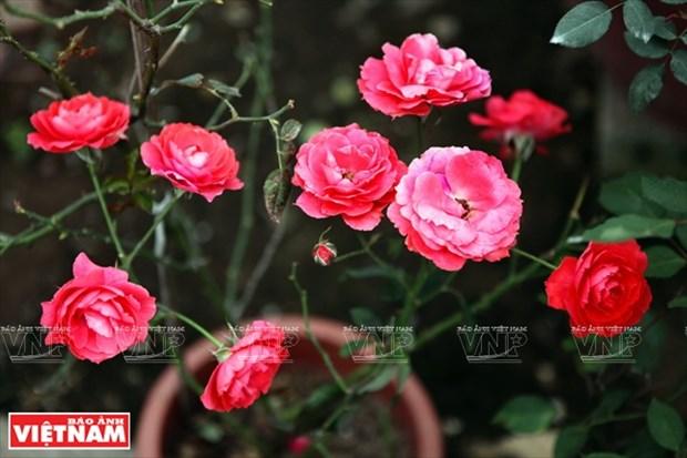 Nguoi dan Hung Yen lam giau tu nhung vuon hoa hong co hinh anh 12
