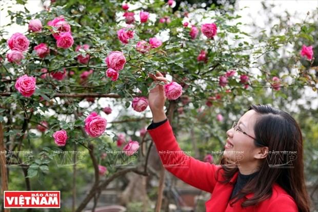 Nguoi dan Hung Yen lam giau tu nhung vuon hoa hong co hinh anh 5