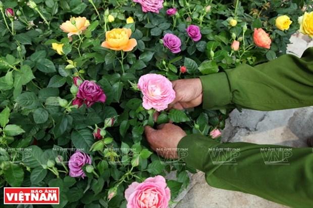 Nguoi dan Hung Yen lam giau tu nhung vuon hoa hong co hinh anh 7