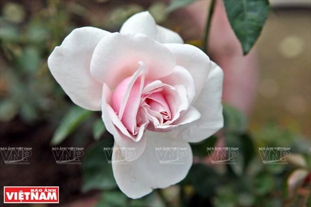 Nguoi dan Hung Yen lam giau tu nhung vuon hoa hong co hinh anh 13