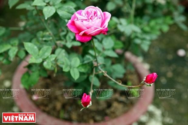 Nguoi dan Hung Yen lam giau tu nhung vuon hoa hong co hinh anh 14