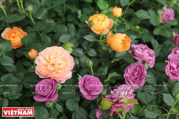 Nguoi dan Hung Yen lam giau tu nhung vuon hoa hong co hinh anh 15