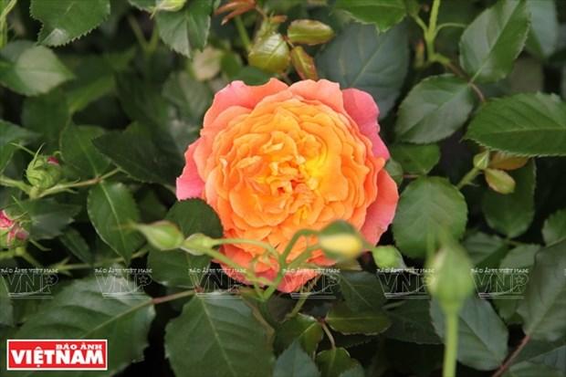 Nguoi dan Hung Yen lam giau tu nhung vuon hoa hong co hinh anh 16