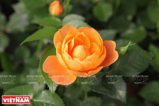 Nguoi dan Hung Yen lam giau tu nhung vuon hoa hong co hinh anh 17
