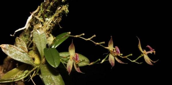 Peru phat hien loai phong lan moi tai cong vien quoc gia thuoc Amazon hinh anh 1