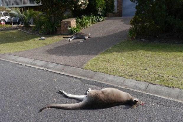 Mot thanh nien bi buoc toi vi lai xe dam chet 20 con kangaroo hinh anh 1