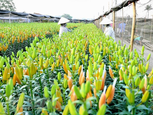 Ha Noi: Lang hoa Tay Tuu ron rang chuan bi mua hoa Tet Canh Ty hinh anh 1