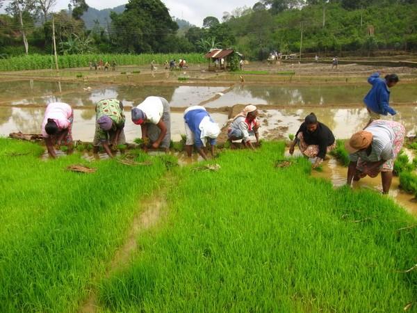 Myanmar dat muc tieu xuat khau 2 trieu tan gao trong tai khoa 2016 hinh anh 1