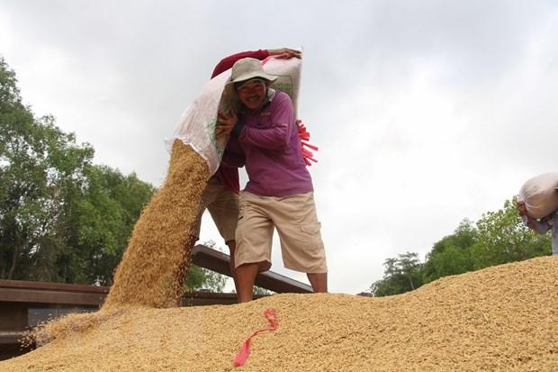 Lúa Hè-Thu sớm đạt năng suất, chất lượng và giá cao, nông dân phấn khởi. Ảnh: Hồng Thái/TTXVN