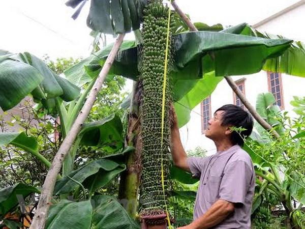 Cay chuoi la tro buong dai 2m voi gan 200 nai tai Quang Binh hinh anh 1
