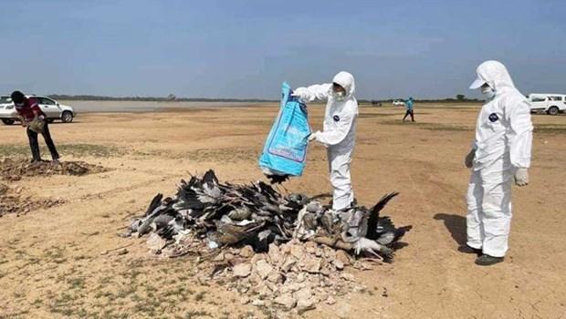 Campuchia: Hon 1.700 chim hoang da chet vi cum gia cam tai Prey Veng hinh anh 1