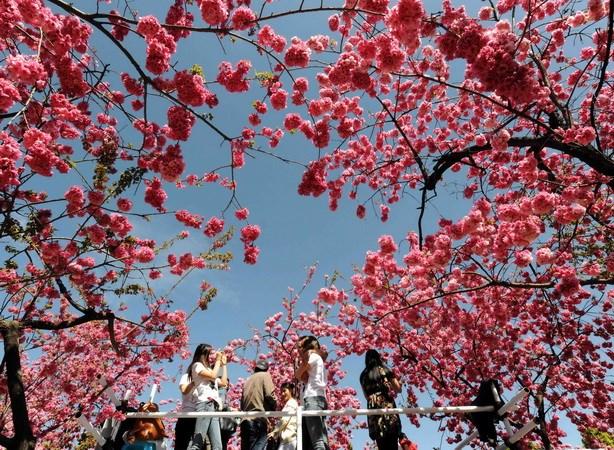 So nguoi di ung phan hoa o Nhat Ban tang dot bien hinh anh 2