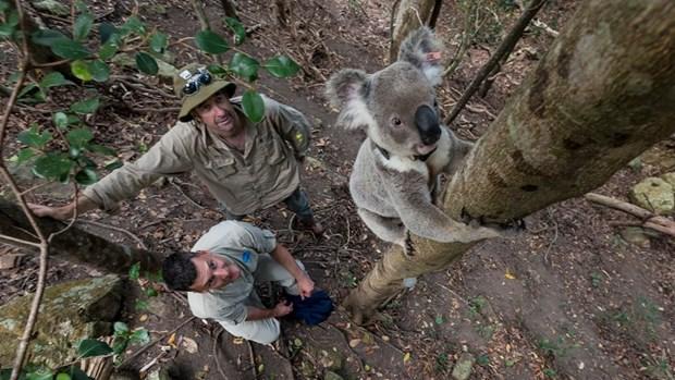 Gioi khoa hoc Australia canh bao nguy co tuyet chung loai koala hinh anh 1
