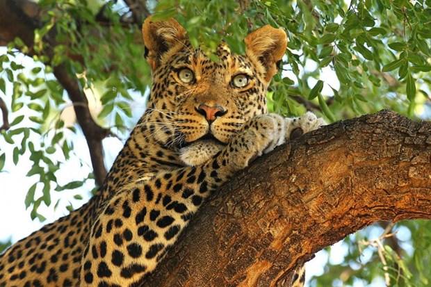 Loai bao Leopard co the bien mat tai Nam Phi trong vai nam toi hinh anh 1