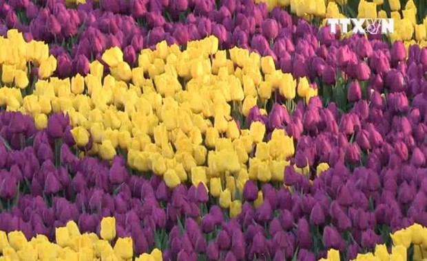 [Video] Den Tho Nhi Ky chiem nguong tham hoa Tulip lon nhat the gioi hinh anh 1