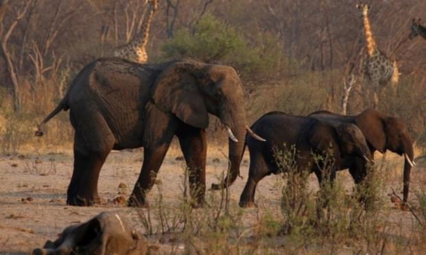 Zimbabwe di chuyen so luong dong vat hoang da lon nhat lich su hinh anh 1