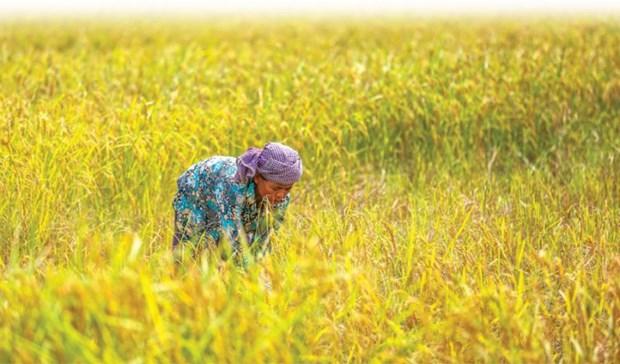 Xuat khau gao cua Campuchia sang Trung Quoc tang 46% trong nam 2019 hinh anh 1
