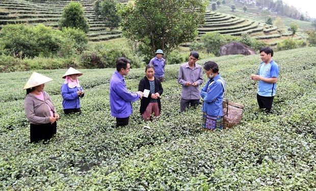 Lai Chau: Chu trong xay vung nguyen lieu che sach cho xuat khau hinh anh 2