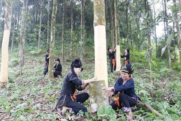 Yen Bai: Nguoi dan huyen Van Yen huong toi san xuat que huu co hinh anh 1
