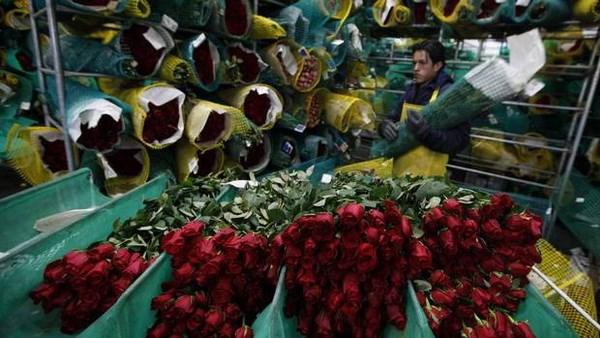 Colombia xuat khau 500 trieu canh hoa sang My trong dip Valentine hinh anh 1