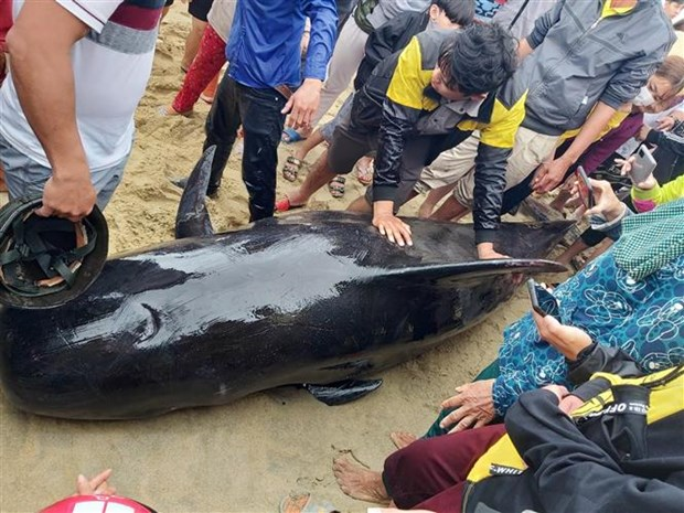 Quang Ngai: Ca Ong nang 700kg luy vao bo bien xa Duc Minh hinh anh 1