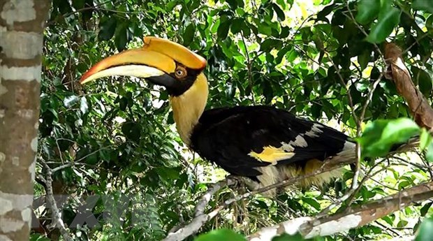 Thua Thien-Hue: Tha chim Hong Hoang co ten trong sach do ve rung hinh anh 1