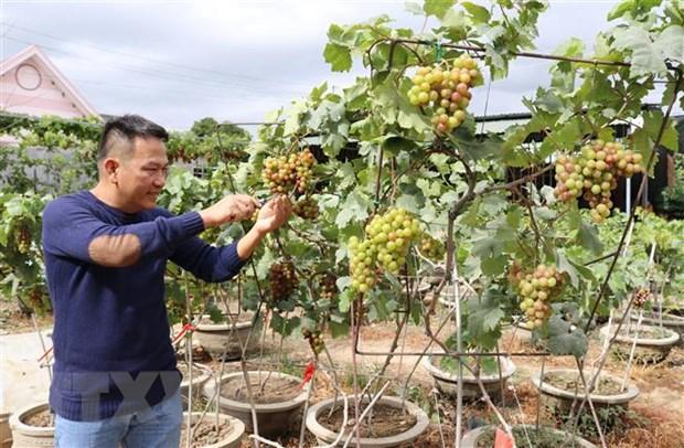 Cay nho kieng Ninh Thuan thu hut khach dip Tet Nguyen dan hinh anh 1