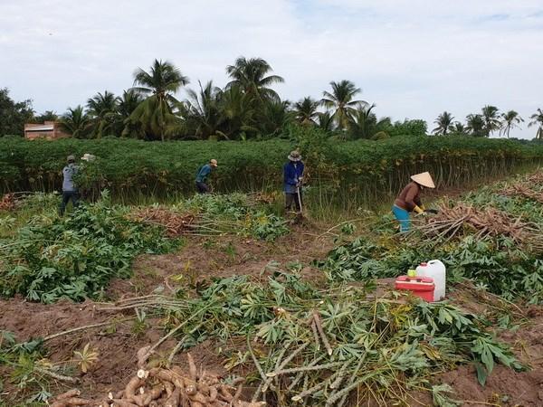 Nong dan trong san Tay Ninh lai tu 40-50 trieu dong moi hecta hinh anh 1