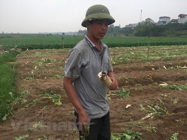 """[Photo] Rot gia the tham, hang chuc tan """"nhan sam trang"""" bi vut bo hinh anh 6"""