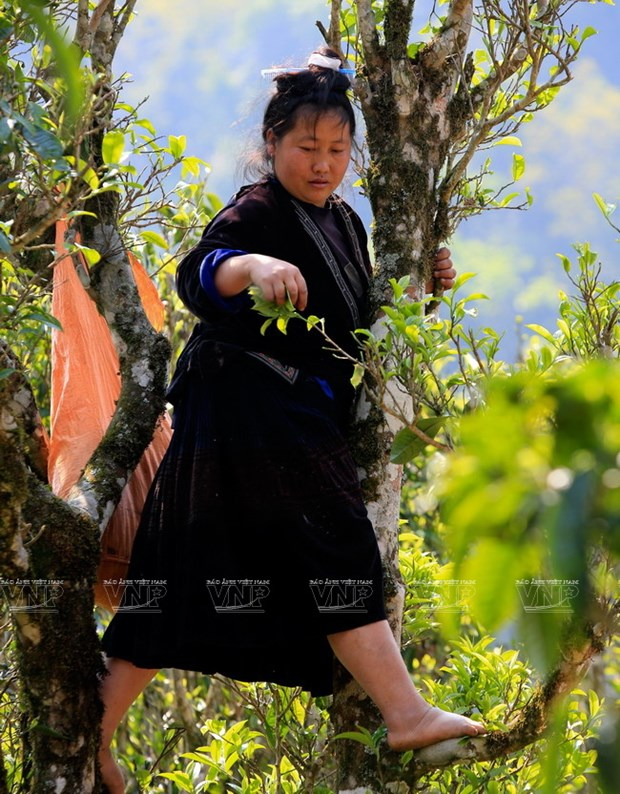 "[Photo] ""Vang xanh"" tren cao nguyen Tua Chua- Dien Bien hinh anh 2"