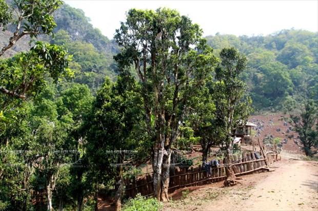 "[Photo] ""Vang xanh"" tren cao nguyen Tua Chua- Dien Bien hinh anh 6"