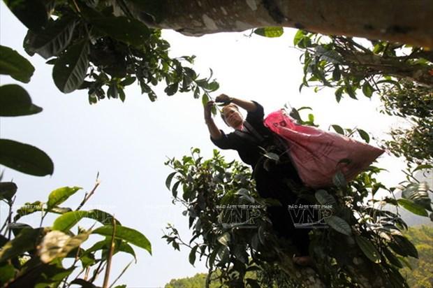 "[Photo] ""Vang xanh"" tren cao nguyen Tua Chua- Dien Bien hinh anh 3"