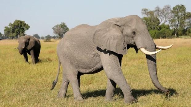 Hon 100 con voi chet o Botswana nghi do nhiem benh than hinh anh 1