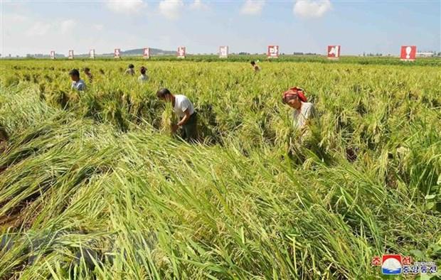 FAO: An ninh luong thuc cua Trieu Tien kho cai thien trong nam 2020 hinh anh 1