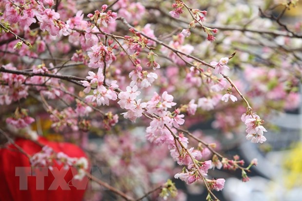 Gan 30 nghin canh hoa Anh dao khoe sac giua Thu do Ha Noi hinh anh 1