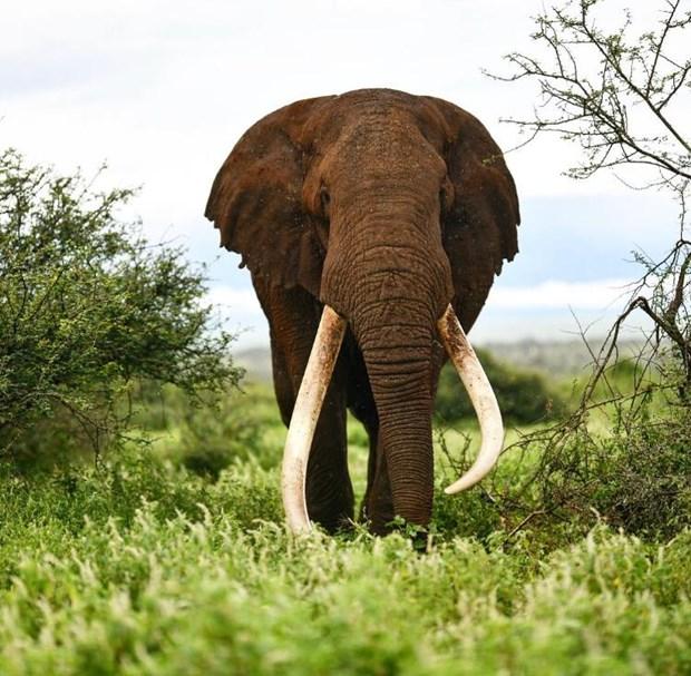 Mot trong nhung con voi nga dai cuoi cung cua chau Phi qua doi hinh anh 1