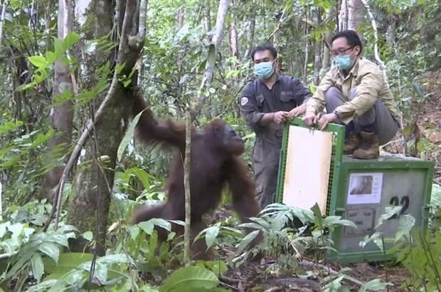 Indonesia no luc bao ton loai duoi uoi vung Borneo truoc dich COVID-19 hinh anh 1