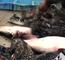 [Video] Nhật Bản cấm bán cá nóc đột biến do biến đổi khí hậu
