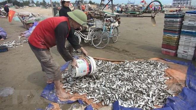 Ngư dân Hà Tĩnh trúng đậm cá trích, thu hàng triệu đồng mỗi chuyến